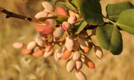 Fiocco Verde in Sicilia: nasce la DOP Pistacchio di Raffadali